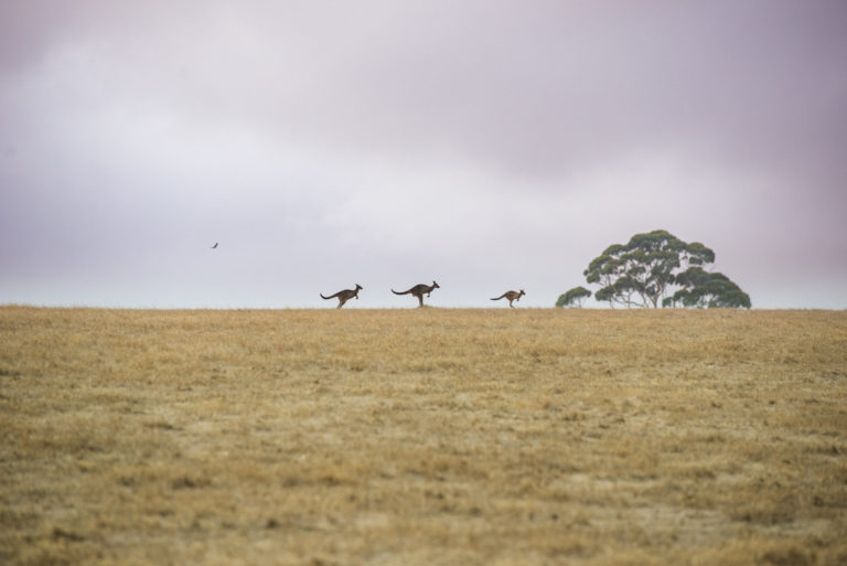 Kangaroos and Wedge-tailed Eagles often spotted on the property at Oceanview Eco Villas on Kangaroo Island
